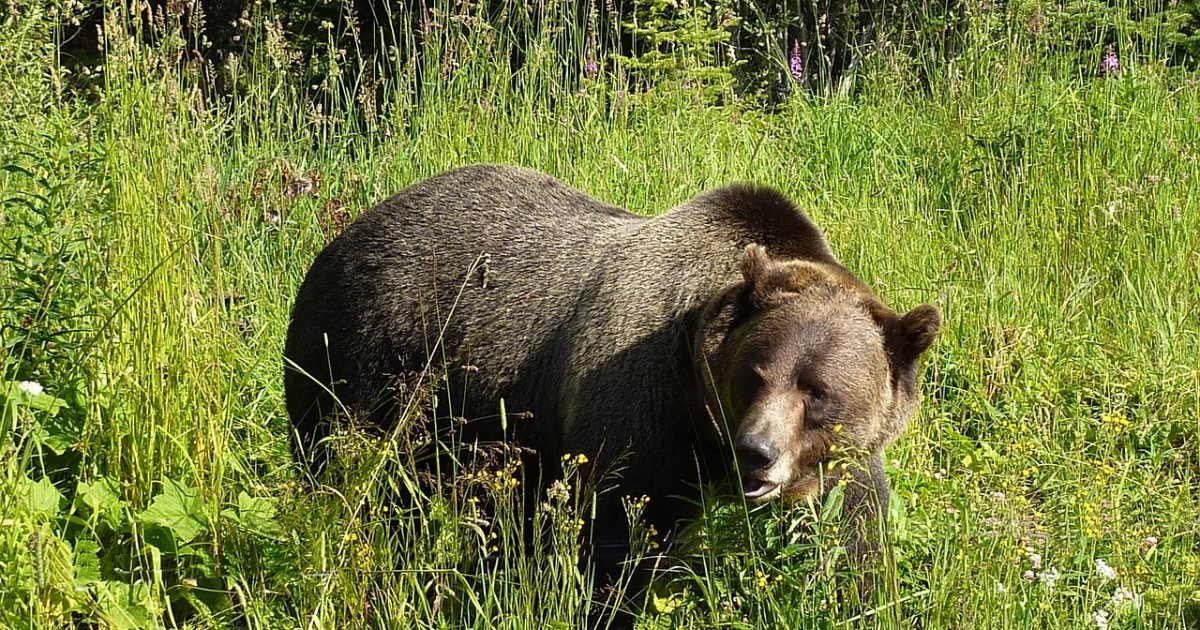 grizzly-1180556_1280