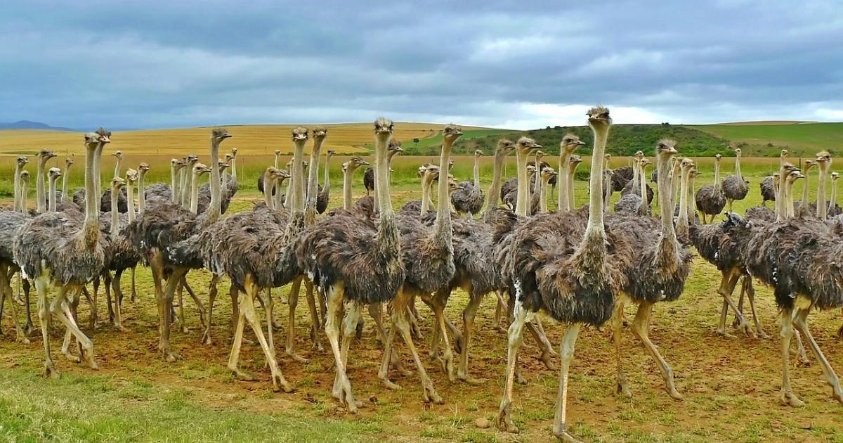 ostriches-838976_1280