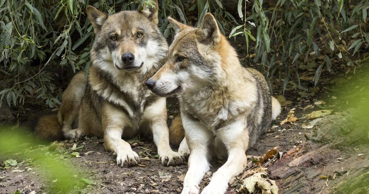 wolf-1384945_1280